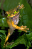 Smilisca phaeota frog standing on a leaf