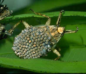 Giant waterbug, Abedus indentatus. Male with eggs.