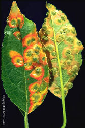 Spore producing structures of the cedar-apple rust fungus on an apple leaf