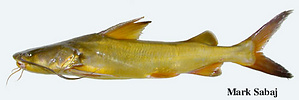 specimen showing fin spines, barbels and naked skin characteristic of most catfishes