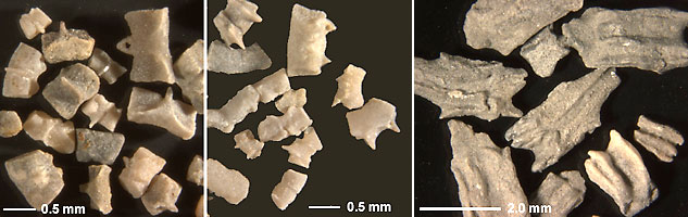 Isolated pieces of the calcareous rings of fossil holothurians