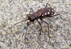Pacific Tiger Beetle
