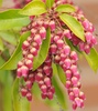 Japanese Pieris (Pieris japonica 'Valley Valentine')