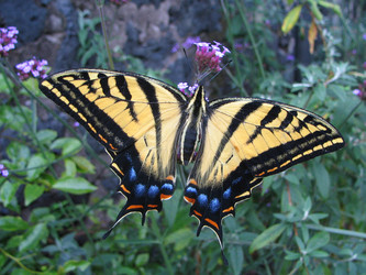 Two-tailed Swallowtail on Verbena