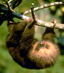 Two-toed sloth juvenile